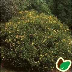 Småbladet Perikon 20-40 cm. - Bundt med 10 stk. barrodsplanter - Hypericum erectum Gemo
