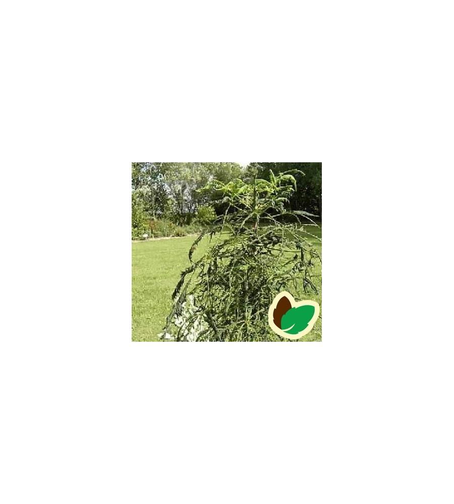 Aesculus hippocastanum Laciniata / Fligbladet Hestekastanie