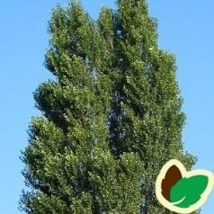 Populus nigra Italica - Pyramidepoppel / 10 stk. 60-100 cm. barrods. - S