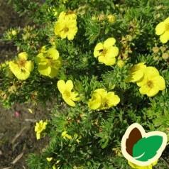 Buskpotentil Kobolt 20-40 cm. - Bundt med 10 stk. barrodsplanter - Potentilla fruticosa Kobolt