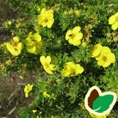 Buskpotentil Kobolt 30-50 cm. - Bundt med 10 stk. barrodsplanter - Potentilla fruticosa Kobolt