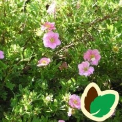 Buskpotentil  - Potentilla fruticosa Lovely Pink