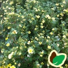 Potentilla fruticosa Månelys - Potentil / 10 stk. 30-50 cm. barrods. - S