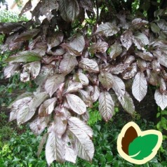 Prunus cerasifera Nigra - Blodblomme / 80 cm. stamme.