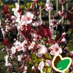 Prunus cistena - Dværgblodblomme / 60 cm. stamme.