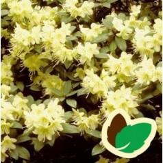 Dværg Rhododendron Princess Anne