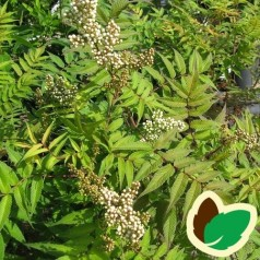 Tusindtop Sem 30-50 cm. - 10 stk. barrodsplanter - Sorbaria sorbifolia Sem