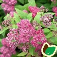 Rosa-Rød Spiræa Froebelii 50-80 cm. -  10 stk. barrodsplanter - Spiraea bumalda Froebelii _