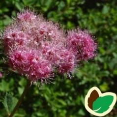Spiraea densiflora - Spiræa / 10 stk. 20-40 cm. barrods. - S