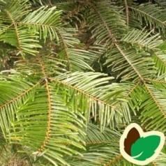 Kæmpegran 20-40 cm. - Bundt med 10 stk. barrodsplanter - Abies grandis