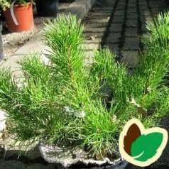 Lav Bjergfyr 10 stk. 10-25 cm. barrods - Pinus mugo Mughus