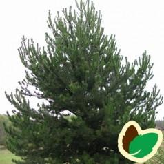 Fransk Bjergfyr 20-40 cm. - Bundt med 10 stk. barrodsplanter - Pinus uncinata