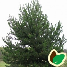 Pinus uncinata - Fransk Bjergfyr / 10 stk. 15-30 cm. barrods.