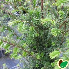 Taxus cuspidata - Japansk Taks / 10 stk. 20-40 cm. barrods