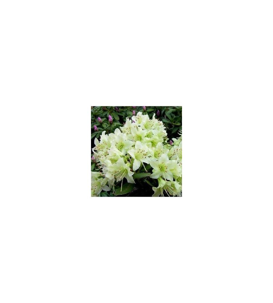Dværg Rhododendron Shamrock