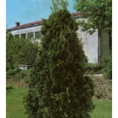 Thuja occidentalis Holmstrup / 80-100 cm.