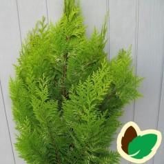 Chamaecyparis lawsoniana Ivonne - Cypres / 80-100 cm.