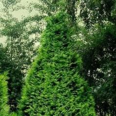 Chamaecyparis lawsoniana Stardust - Cypres / 80-100 cm.