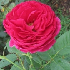 Rose Ascot - Storblomstret Rose / Barrods