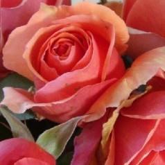 Rose Ashram - Storblomstret Rose / Barrods