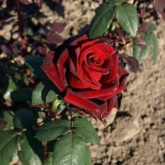 Rose Barkarole / Storblomstret Rose - Barrods