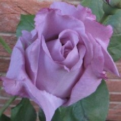Rose Blue Moon / Storblomstret Rose / Barrods