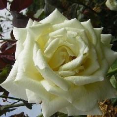 Rose Caroline de Monaco / Storblomstret Rose / Barrods