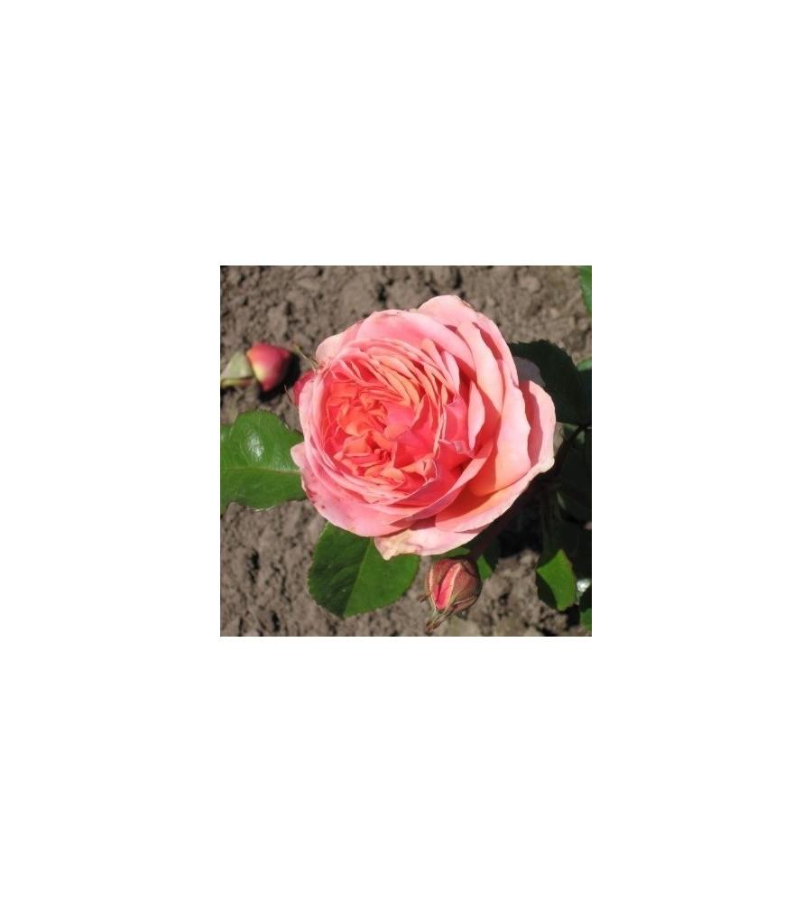 Rose Chippendale - Storblomstret Rose / Barrods