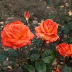 Rose Dronning Ingrid / Storblomstret Rose - Barrods