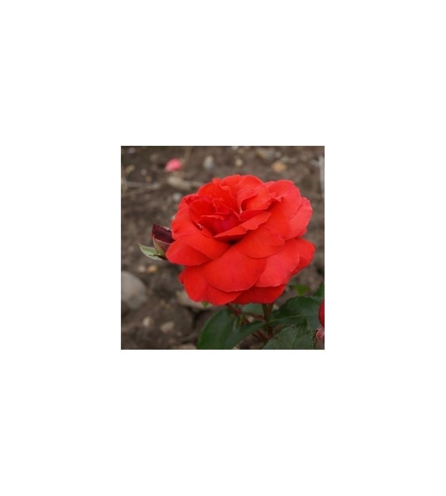 Rose Duftwolke / Storblomstret rose - Barrods