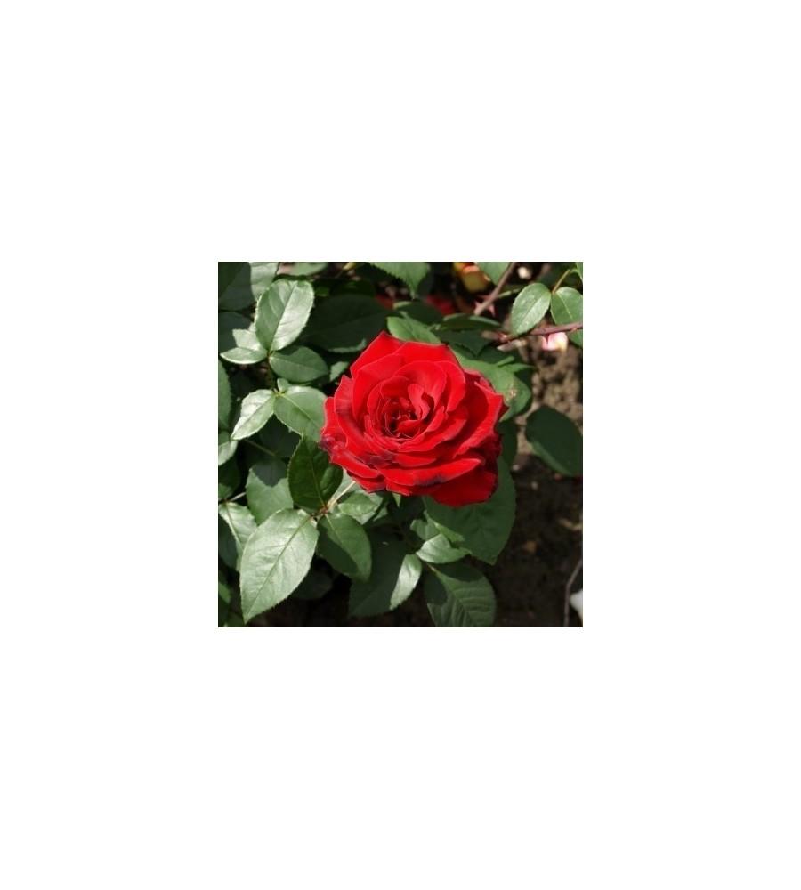 Rose Erotica / Storblomstretrose - Barrods
