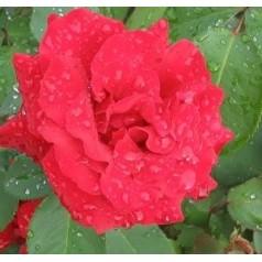 Rose Gisselfeld / Storblomstret Rose - Barrods