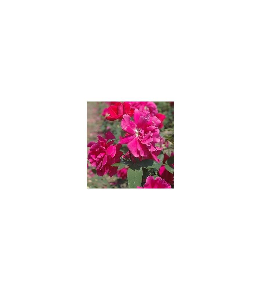 Rose Hanne / Storblomstret - Barrods