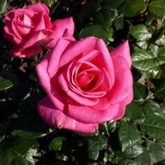 Rose Lady Like - Storblomstret Rose / Barrods