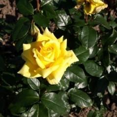Rose Landora - Storblomstret Rose / Barrods