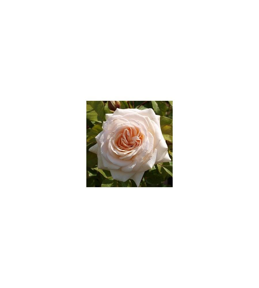 Rose Marvellous - Storblomstret Rose - Barrods