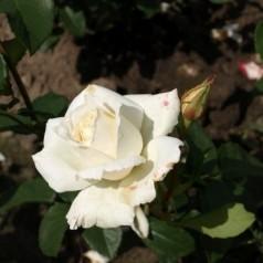 Rose Pascali / Storblomstret - Barrods