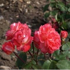 Rose Sigrid Undset - Storblomstret Rose / Barrods