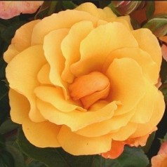 Rose Strike It Rich / Storblomstret Rose - Barrods