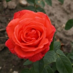 Rose Super Star / Storblomstret - Barrods