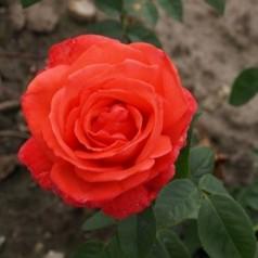 Rose Super Star / Storblomstret - Barrods