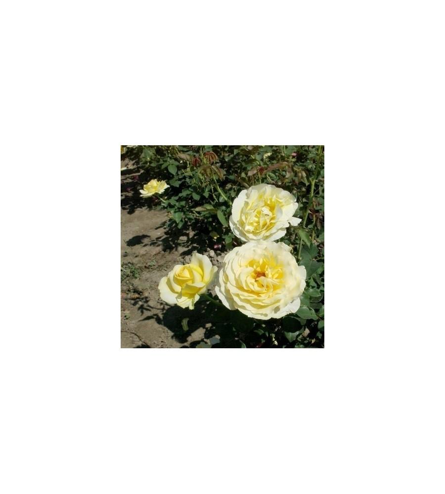 Rose Tivoli 150 / Storblomstret Rose - Barrods
