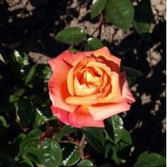 Rose Troika / Storblomstret Rose - Barrods