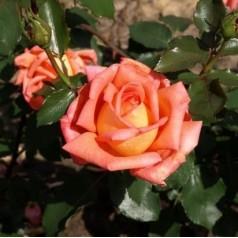 Rose Victor Borge / Storblomstret Rose - Barrods