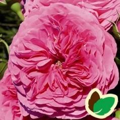 Rose Baronesse - Buketrose / Barrods