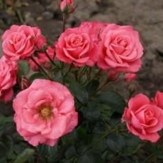 Rose Bella Rose - Buketrose / Barrods