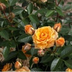 Rose Clementine - Buketrose / Barrods