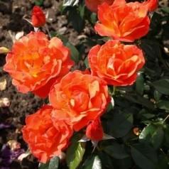 Rose Fellowship / Buketrose - Barrods