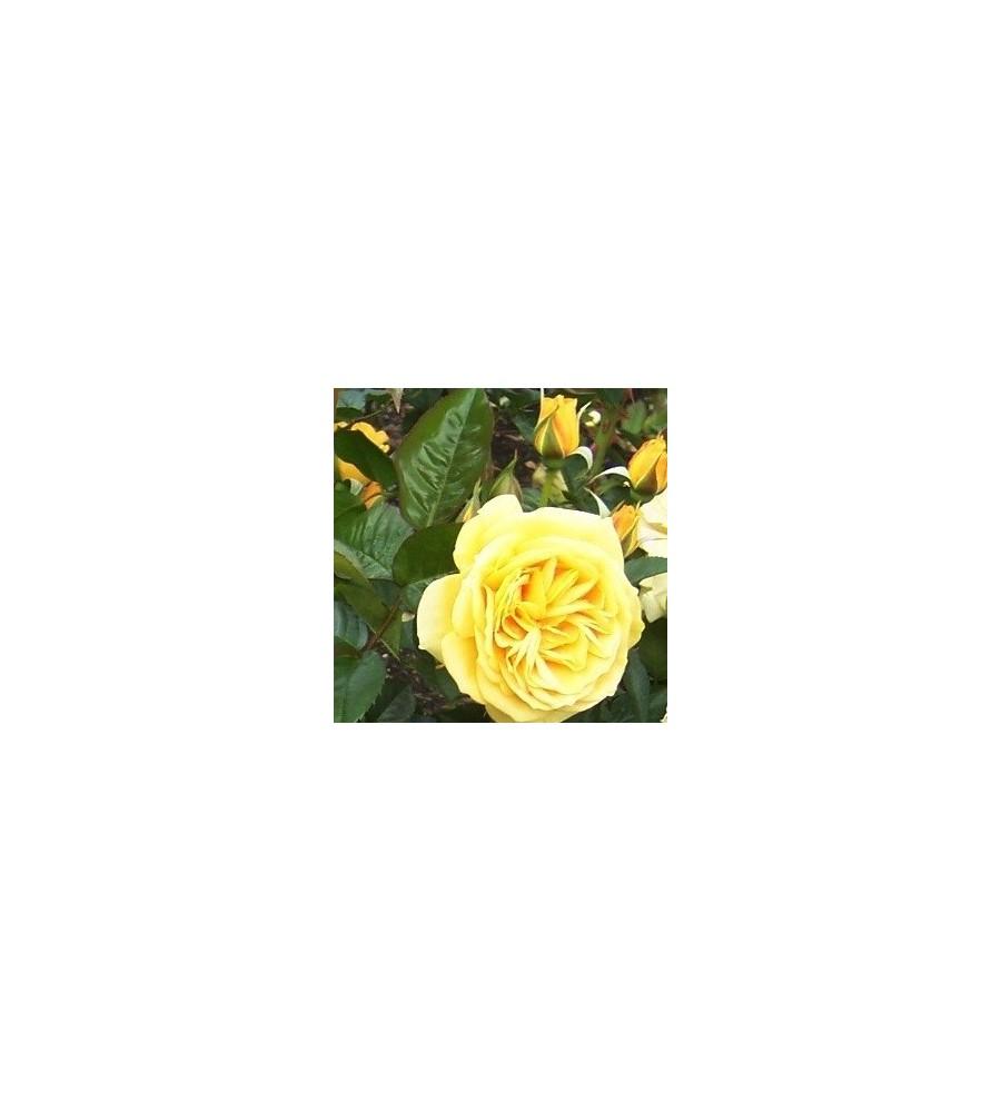 Rose Julia Child / Buketrose - Barrods
