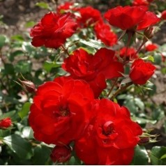 Rose La Sevillana - Buketrose / Barrods